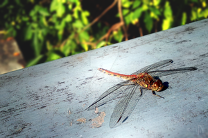 The Dragonfly by Netickque