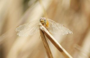 dragonflies VIII by dianapple
