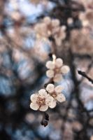 Apricot flowers 2, Donetsk by daily-telegraph