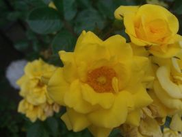 Yellow flowers by demonlucy
