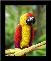 Chili Pepper Parrot by KomodoEmpire