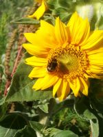 Sunflower is a square meal by Jona25