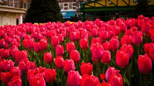Red Tulips by feria233