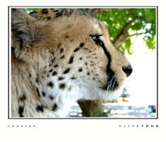 cheetah by Shmaff