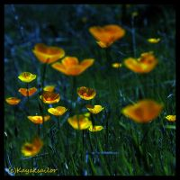 Poppies by moonlight? by kayaksailor