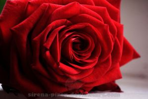 Red rose by sirena-pirey