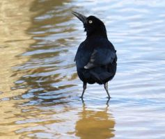 Cute Little Grackle by SalemCat