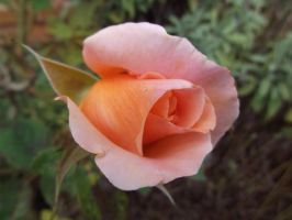 Rosebud by buttercupminiatures
