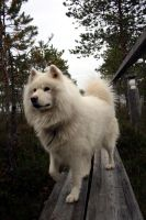 Samoyed by LaQuuna