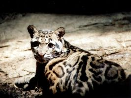 Clouded Leopard by lucy24