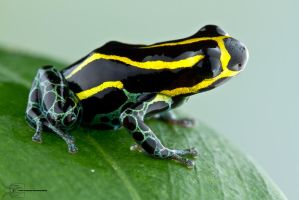 Amazonian poison dart frog - Ranitomeya ventrimacu by ColinHuttonPhoto