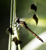 Large dragonfly by An-Drake