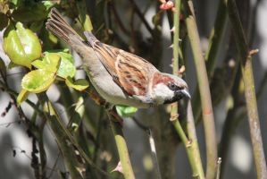 House Sparrow - May 2013 by LFC1976