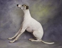 Whippet by planet0