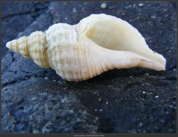 Unrestricted Object Stock - Sea Shell 14 by shelldevil