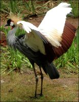 Crowned Crane by Bella-Blue