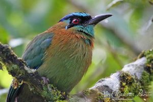 Motmot Close-up by mydigitalmind