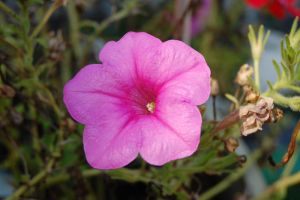 Pink Flower by Dominick-AR