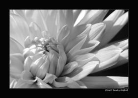 Dahlia in BW by grugster