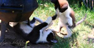 baby cat fight by alamic-marius
