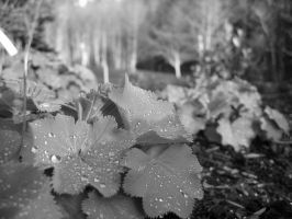 Dewdrops on Lady's Mantle by VictorianVampiress