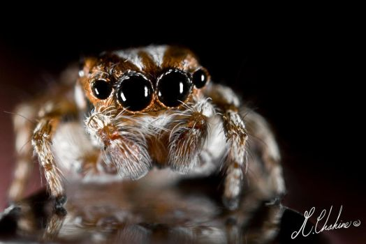 Reflecting Spider by mchahine