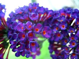 Butterfly Bush 7 by Holly6669666