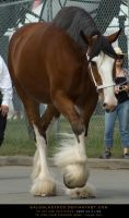 Clydesdale 2 by SalsolaStock