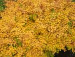 yellow leaves in autumn by Nexu4