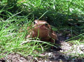 Frog in grass by lordfreedom