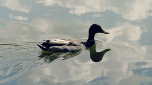 Duck on the sky... by YummyBiscuit