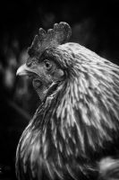 Country Chicken 11 by S-H-Photography