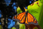Resting Monarch by kyle-culver