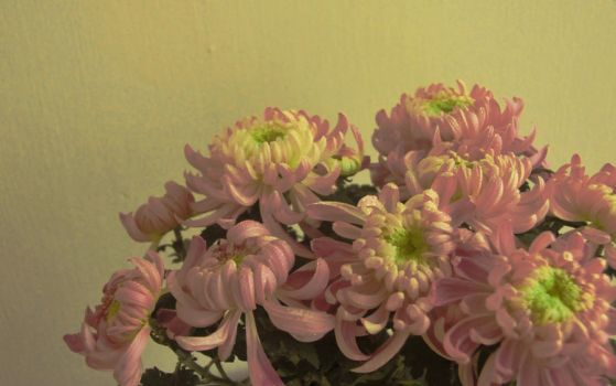 Chrysanthemums by cloudcover