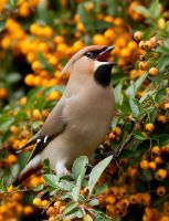 Waxwing Wealth by thrumyeye