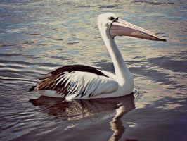 A Pelican on the River with His Reflection by horsegirl1999