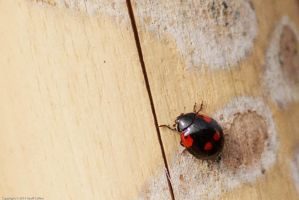 Ladybird by GMCollins