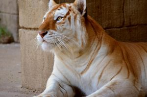 Golden Tiger by tarabearatm