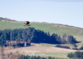 Hawk on the Hunt by ARC-Photographic