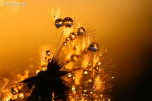 romantic moments dandelion and drops of water by MT-Photografien