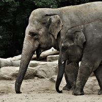 Elephants walking together by Fotoboer