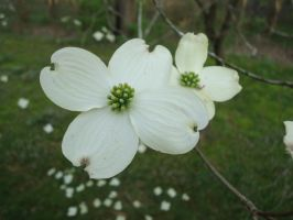 Dogwood Blooms by Cougar28