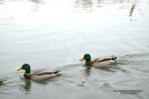 Ducks by RobertAndrei