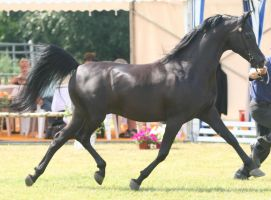 Black Stallion I by Jello88
