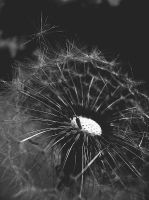 dandelion from your dreams by erlebnis