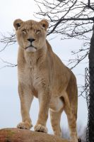 African Lion 8 by 8TwilightAngel8