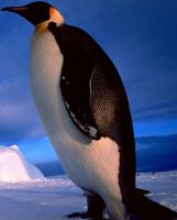The real emperor penguin by Bird-Lover25