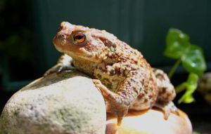 .:Toad:. by titigigas