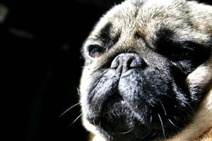 wolfy the pug by Smurfette9290