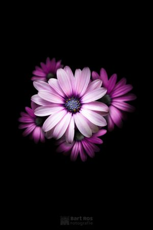 Above shot of a group of Gerbera family in pink by BartRos